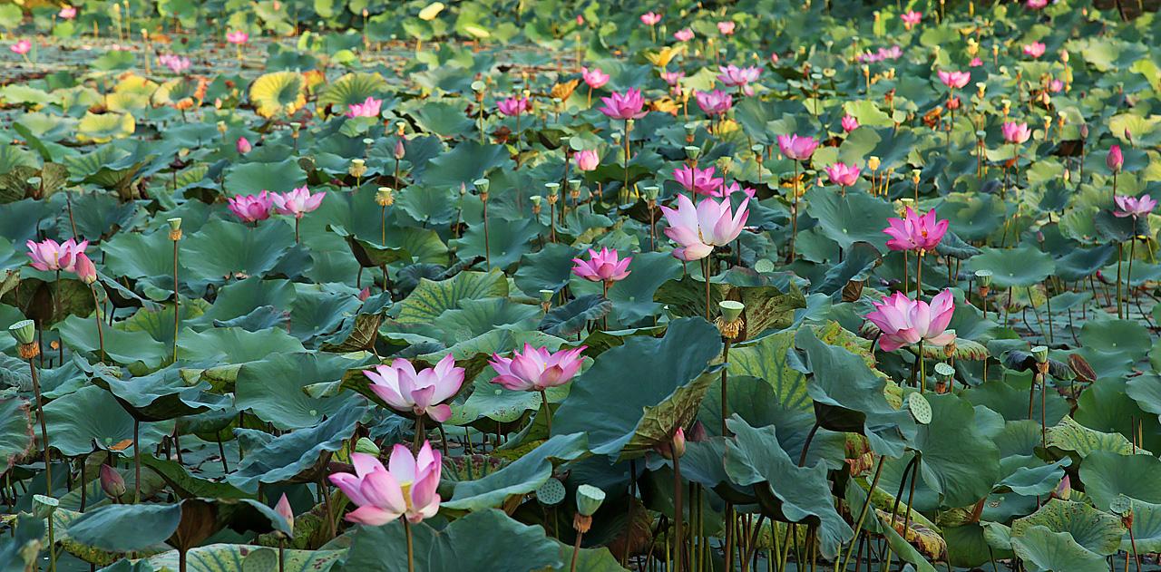 Science and the sacred lotus thetomryan scarab beetle lotus flower mightylinksfo