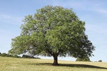 black_walnut_2000x